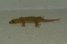 Image of Oceania Gecko