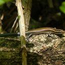 Image of Azure-tailed Skink
