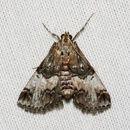 Image of <i>Toripalpus trabalis</i> Grote