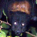 Image of Black Flying Fox