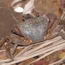 Image of brown land crab