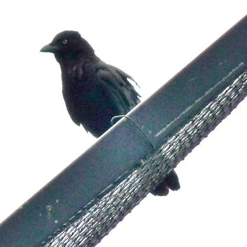 Image of Torresian Crow