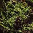 Image of maidenhair spleenwort
