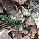 Image of <i>Erigenia bulbosa</i>