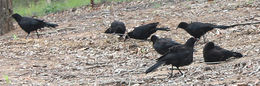 Image of White-winged chough