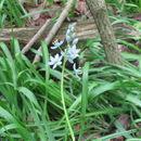 Image of <i>Camassia scilloides</i>