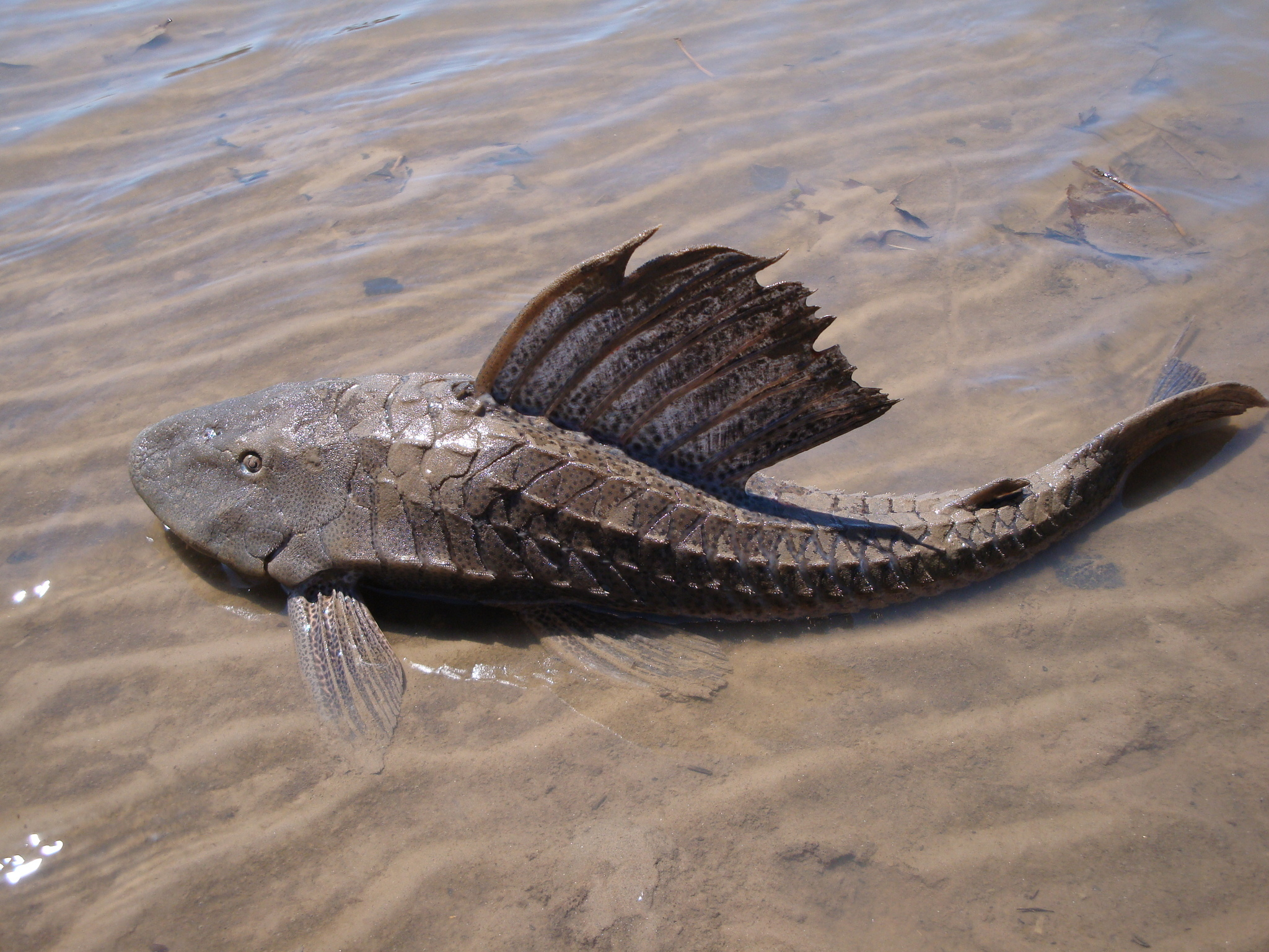 Image of Catfish