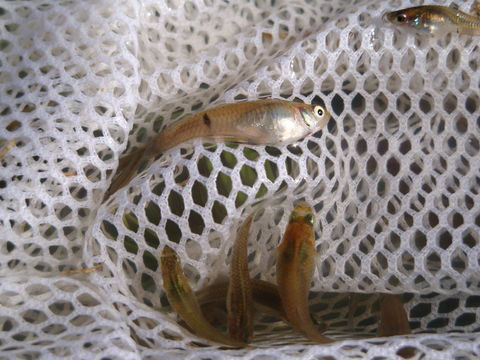 Image of speckled mosquitofish