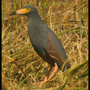 Image of Rufous-bellied Heron
