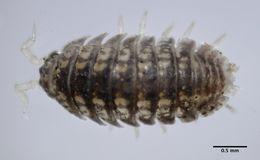 Image of <i>Armadilloniscus lindahli</i> (Richardson 1905)