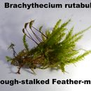 Image of <i>Brachythecium rutabulum</i>
