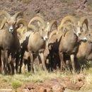 Image of Desert bighorn sheep