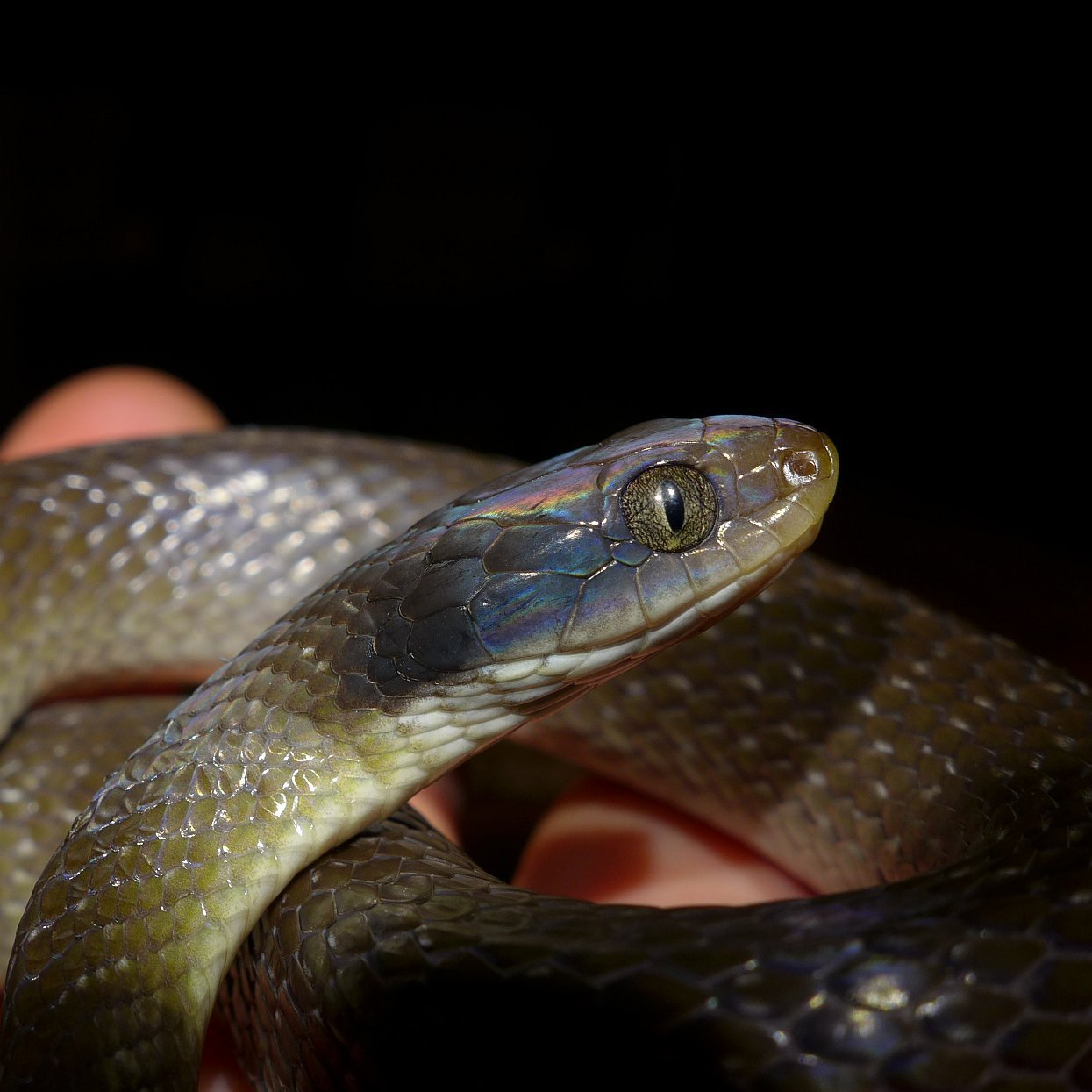 Image of Red-lipped Snake