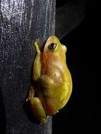 Image of Kivu Reed Frog