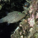 Image of Spotted Sharpnose Puffer
