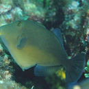 Image of Orangeside Triggerfish