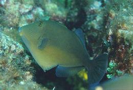 Image of Orangeside Triggerfish