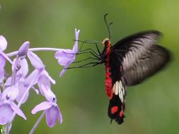 Image of Common Rose Butterfly