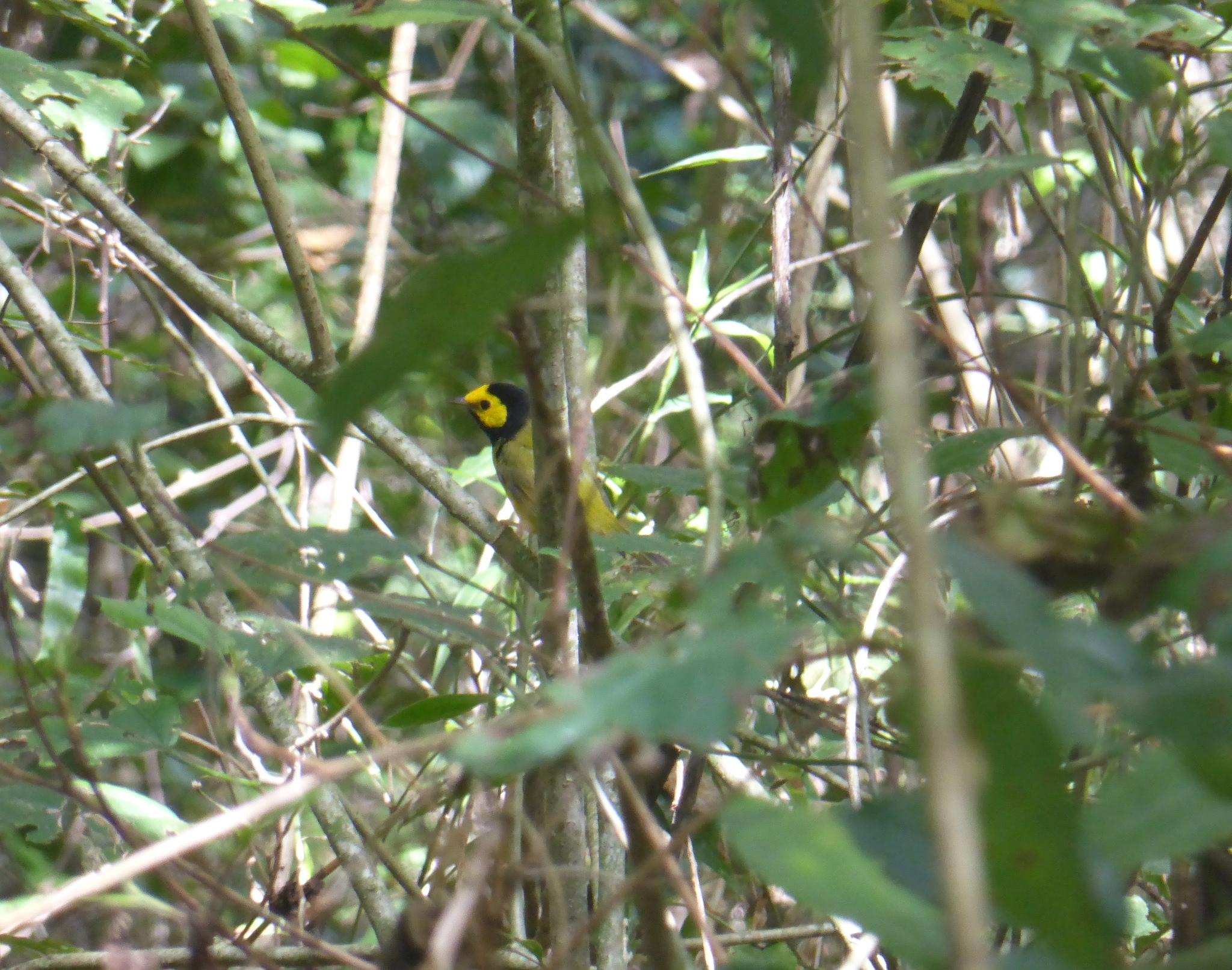 Image of Hooded Warbler