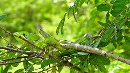 Image of Serrated Casquehead Iguana