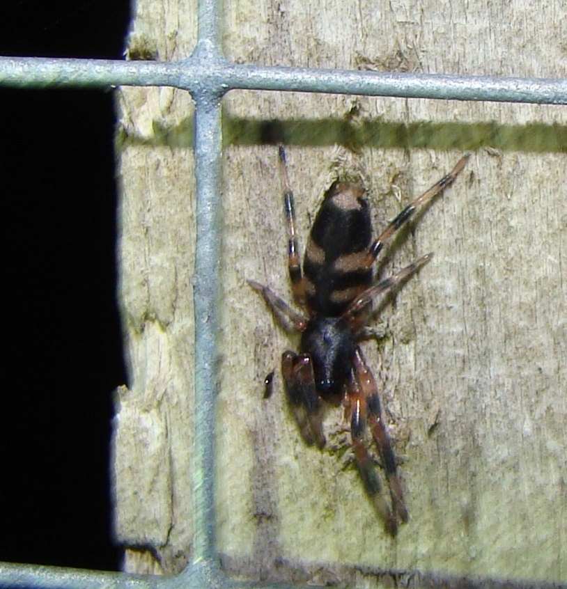 Image of White-tailed spider