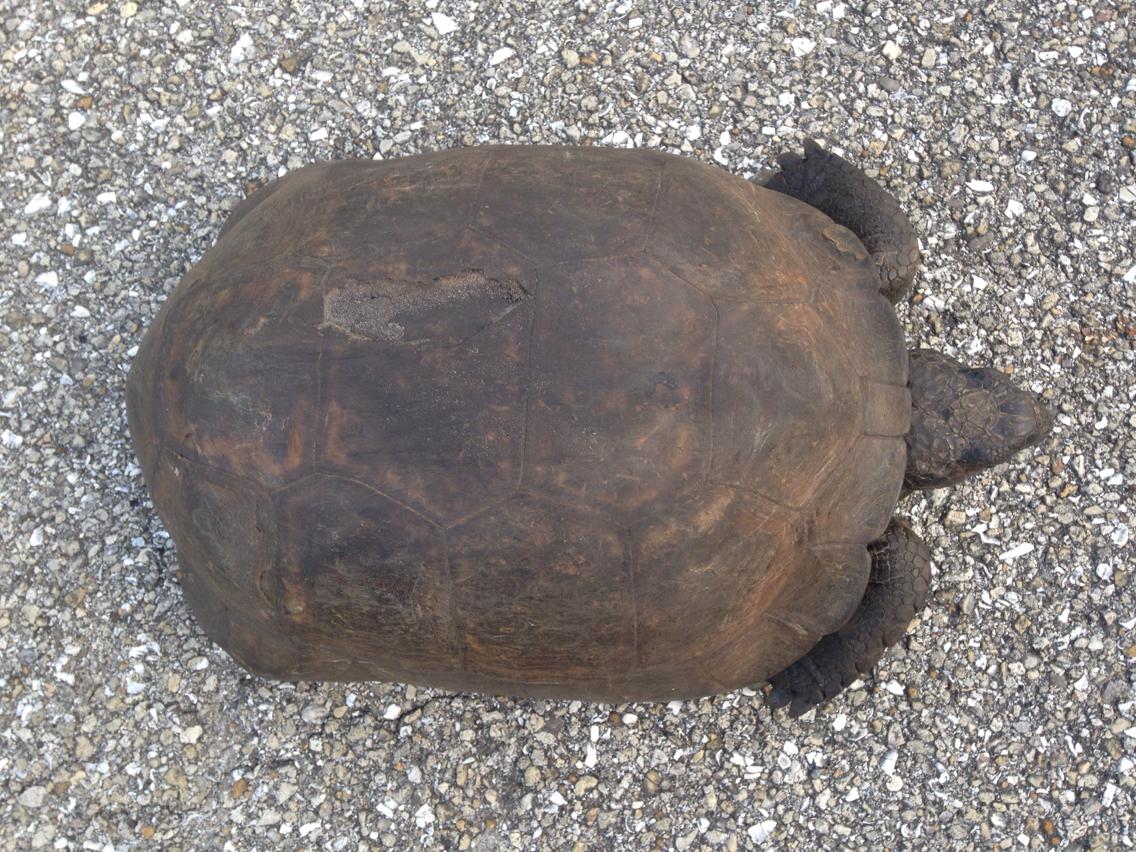 Image of (Florida) Gopher Tortoise