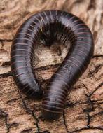 Image of <i>Tylobolus uncigerus</i> (Wood 1864)