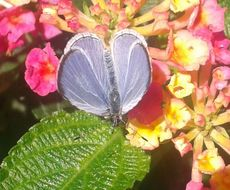 Image of <i>Celastrina echo gozora</i>