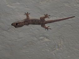 Image of Flat-tailed House Gecko