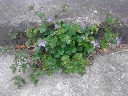Image of <i>Viola odorata</i>
