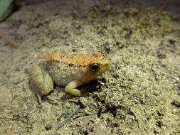 Image of Natal puddle frog