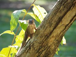 Image of Northern tree shrew