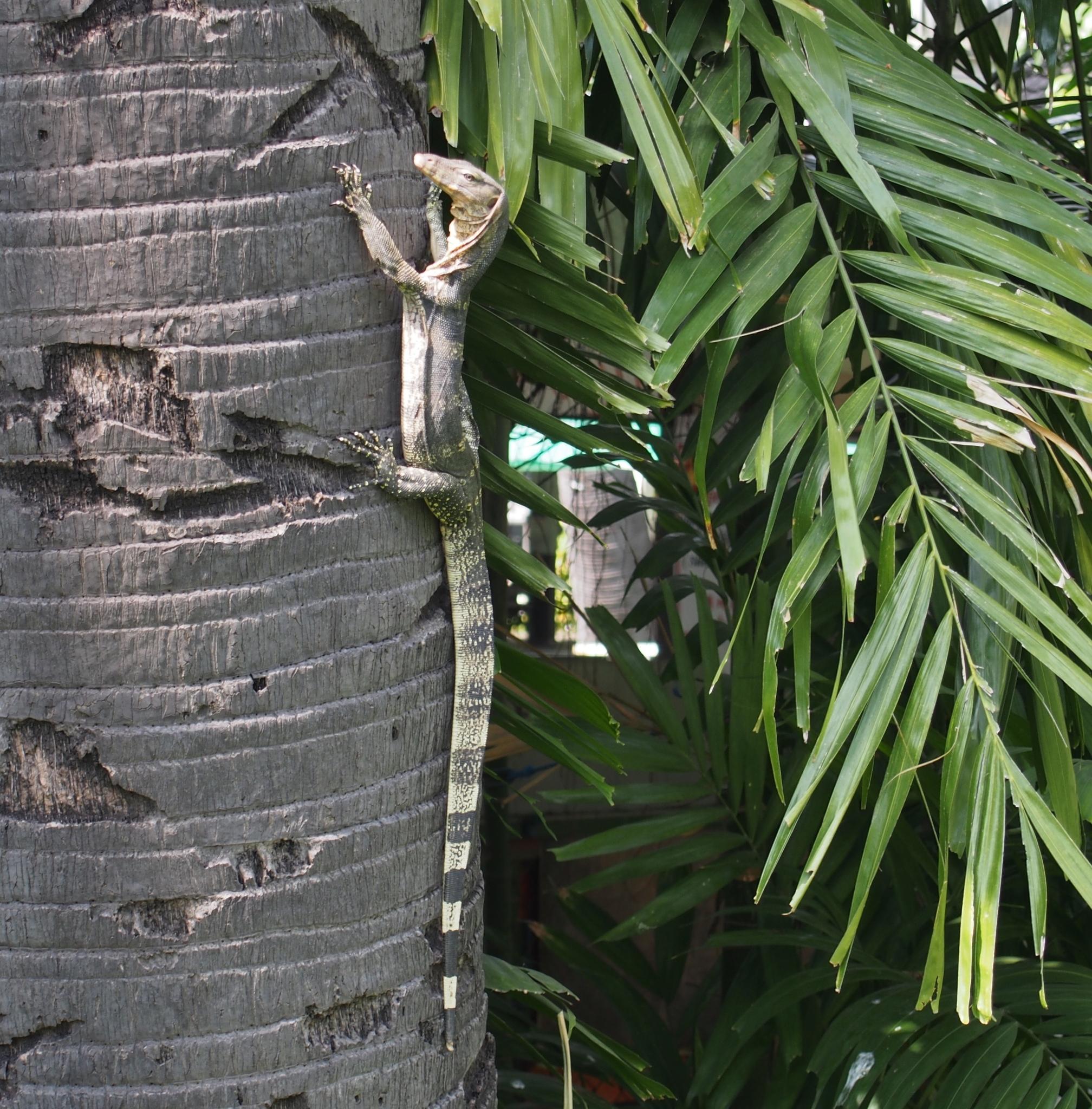 Image of <i>Varanus salvator</i>