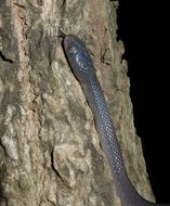 Image of Nocturnal Tree Snake