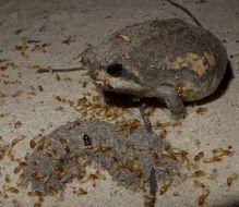 Image of Power's Rain Frog