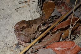 Image of Bocage's Tree Frog