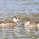 Image of Pink-eared Duck