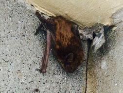 Image of Big Brown Bat