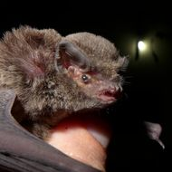Image of Natal Long-fingered Bat