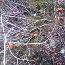 Image of <i>Elliottia pyroliflora</i>