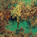 Image of Tiger Snout Seahorse