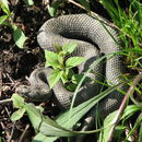 Image of Massasauga Rattlesnake