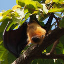 Image of Lyle's Flying Fox