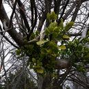 Image of <i>Phoradendron leucarpum</i>