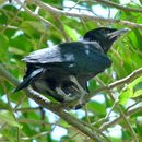 Image of Spangled Drongo
