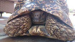 Image of Leopard Tortoise