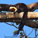 Image of Black Giant Squirrel