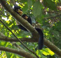 Image of Black Giant Squirrel