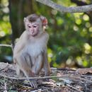 Image of Northern Pig-tailed Macaque