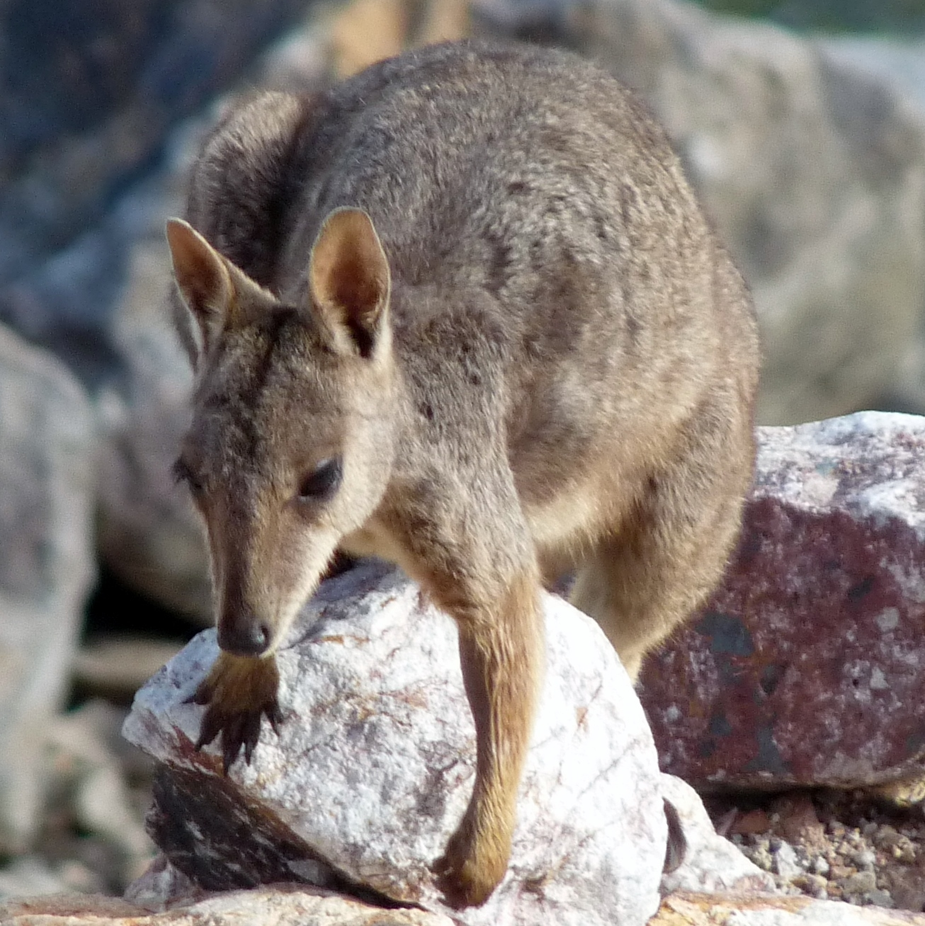 Image of Allied rock wallaby